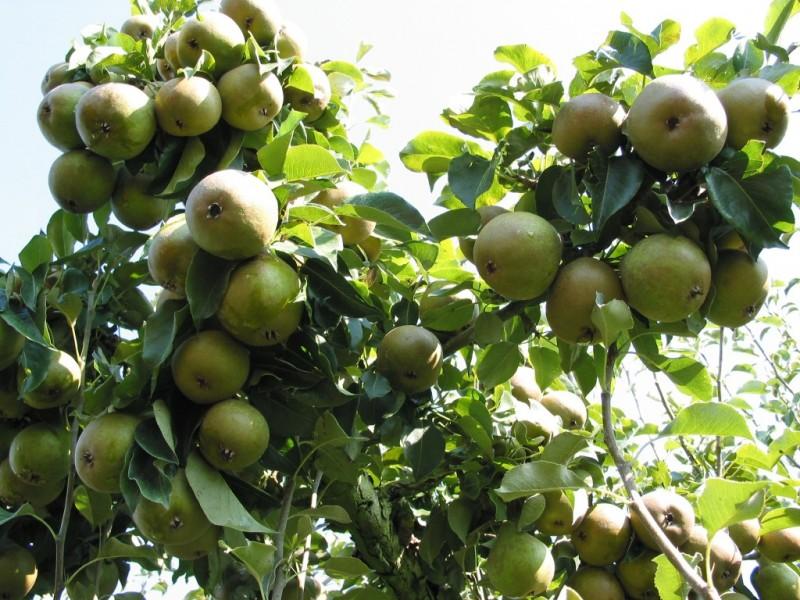 Fruitbomen kwekerij oude rassen